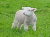 Ferme : A Saute Mouton