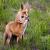 Au renard roux