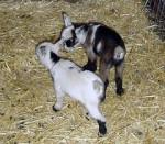 cuci y luna - Chèvre (5 mois)