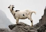 cabra - Chèvre (1 mois)