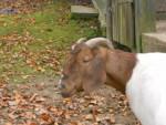 Schlappohr - Chèvre
