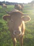 Kuh auf der Weide - Vache