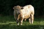 Taureau - Vache Mâle