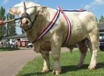 Taureau champion - Vache Mâle (2 ans)