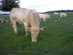 c'est un taureau charolais est il s'appelle Diego - Vache Mâle (3 ans)