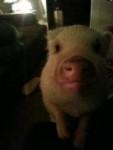 porkie - Cochon (1 an)