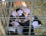 Baby's Baies:) - Cochon