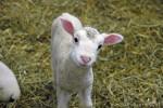 Lambchop - Mouton Mâle (1 an)