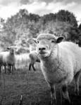 Bolita de lana - Mouton (3 ans)