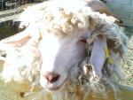 Magic - Mouton (10 ans)