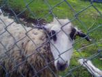 lola - Mouton (3 ans)