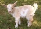 Chèvre Cream puff - Femelle (2 mois)