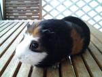 Cochon d\'inde à poil lisse pupuce - Femelle (4 ans)