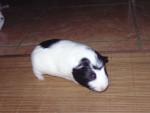 Cochon d'Inde Speedy - Mâle (6 mois)
