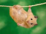 liana - Hamster (9 mois)