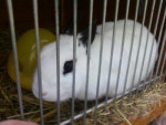 Buddy The Rabbit - Lapin Mâle (4 ans)