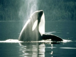 orque - Orque Mâle (7 ans)