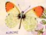 Papillon le papillon de mai -  (Vient de naître)