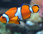 Nemo - Poisson Mâle (4 ans)