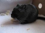 Rat Coal - Femelle (3 ans)