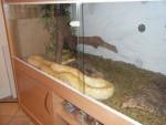 Serpent Amber - Femelle (2 ans)
