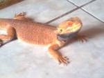 Serpent Naruto(Pogona) - Mâle (2 ans)
