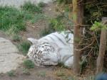 Tigre tigre - Femelle (0 mois)