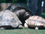 Tortue tortue - Femelle (0 mois)
